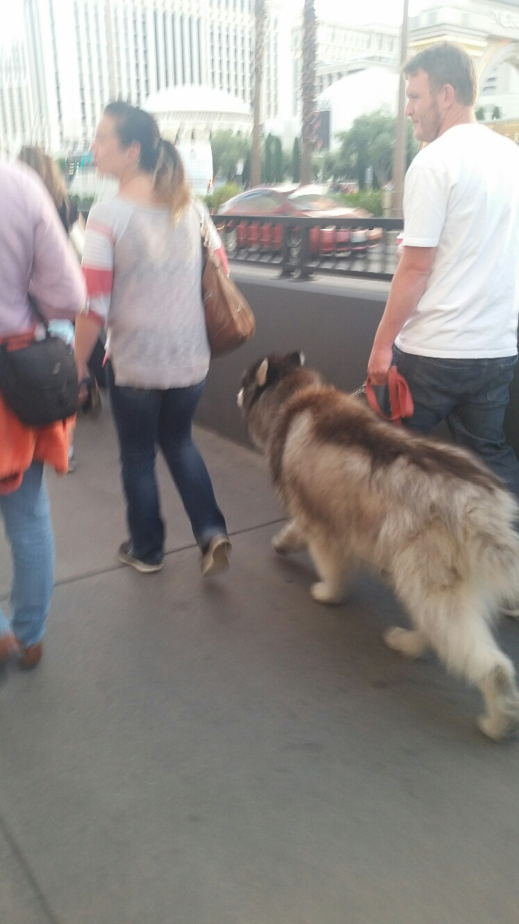 This large dog was visiting Las Vegas in April. This dog would be uncomfortable in June, July and August outside in Vegas.