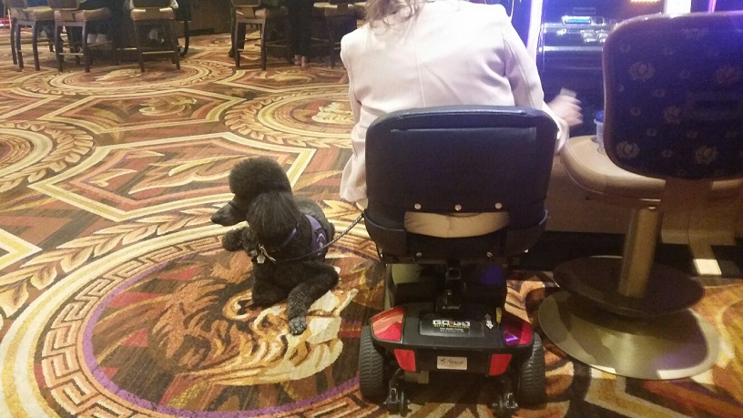 This large Poodle is taking a nap while His Mother plays slots at Caesars