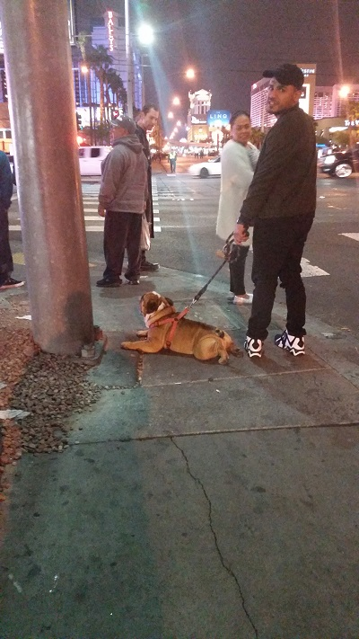 This bulldog is taking a much needed rest as His owner waits for the crosswalk light