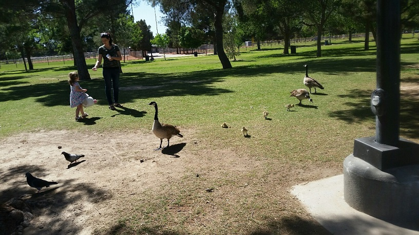 Geese and Gosling are all over the Park