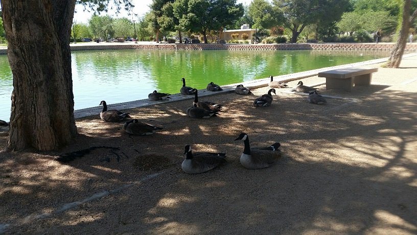 Plenty of Shade for the Geese and Ducks