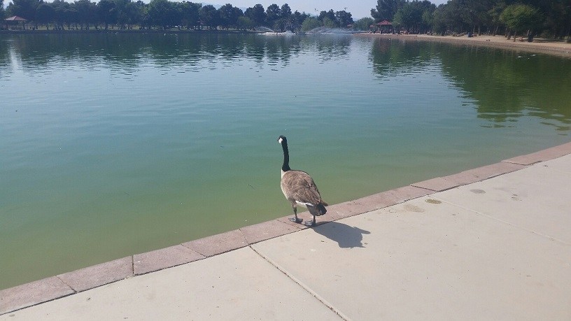 A lone Goose is considering launching into the pond